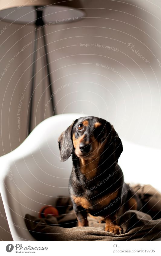 carlson Living or residing Flat (apartment) Decoration Furniture Lamp Chair Room Animal Dog Animal face Dachshund 1 Ball Blanket Observe Sit Curiosity Cute
