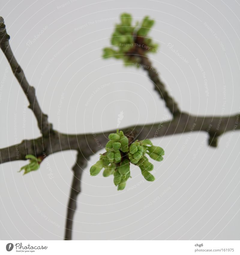 Buds sprout from the branch Leaf bud Branch Twig Green Brown White Detail Spring Growth Make green Abstract Blur