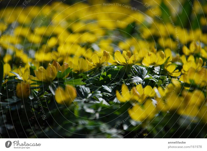 yellow sea of flowers Plant Spring Flower Blossom Many Yellow Green Eranthis hyemalis Spring flowering plant Delicate Growth Sprout Colour photo Close-up