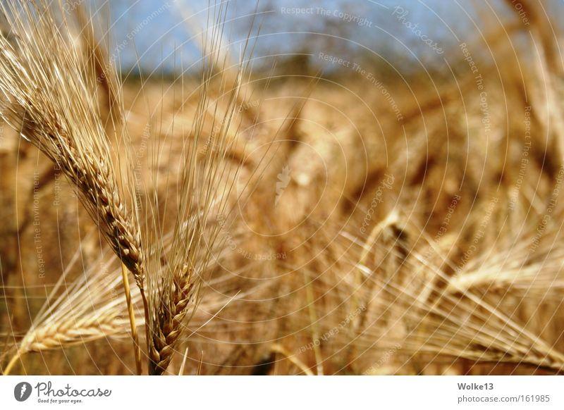 Nature Sky Autumn Gold Grain Agriculture Harvest Cornfield Ear of corn