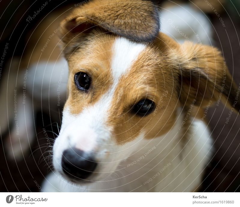 terrier pup Pet Dog Animal face Pelt Terrier 1 Baby animal To enjoy Lie Looking Brash Friendliness Cuddly Small Natural Curiosity Cute Clean Brown White Trust
