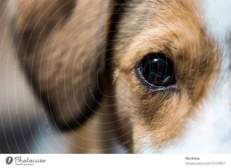 terrier eye Animal Pet Dog Terrier 1 Baby animal Looking Authentic Brown White Loyal Warm-heartedness Sympathy Friendship Love of animals Honest Esthetic