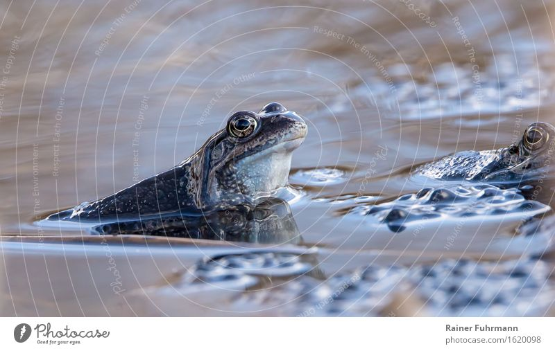 """Moor frogs in family planning Environment Nature Animal Water Spring Pond Frog 1 Rutting season Love Swimming & Bathing """"Spawn spawning period ponds eggs Blue"""