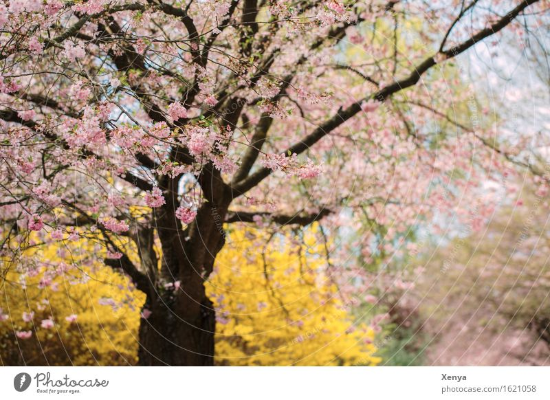 sea of blossoms Environment Nature Plant Tree Bushes Garden Yellow Pink Spring fever Blossom Delicate Romance Exterior shot Deserted Copy Space right Day