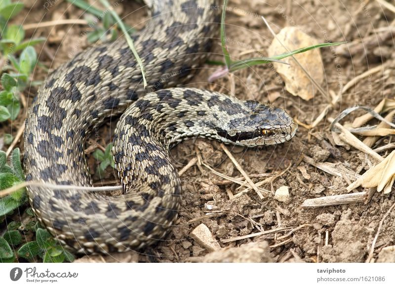 female meadow viper in natural habitat Woman Nature Beautiful Animal Adults Meadow Grass Brown Wild Fear Dangerous Europe Uniqueness Photography Ground