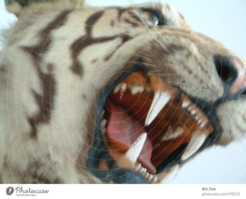 teeth Big cat Set of teeth Scream Fear