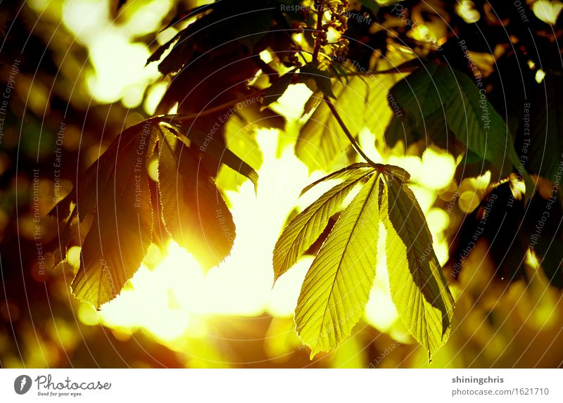 """Morning hour Environment Sun Sunrise Sunset Summer Climate Beautiful weather Tree Leaf Chestnut tree Garden Park Illuminate Yellow Gold Green"