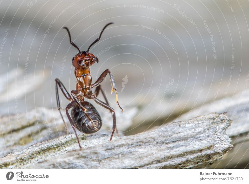 "A red wood ant is ready to defend its state. Animal ""Ant Red Ant"" 1 Observe Stand Aggression Gray Brave Dedication ""Guard sentinel Soldier watch attack"""