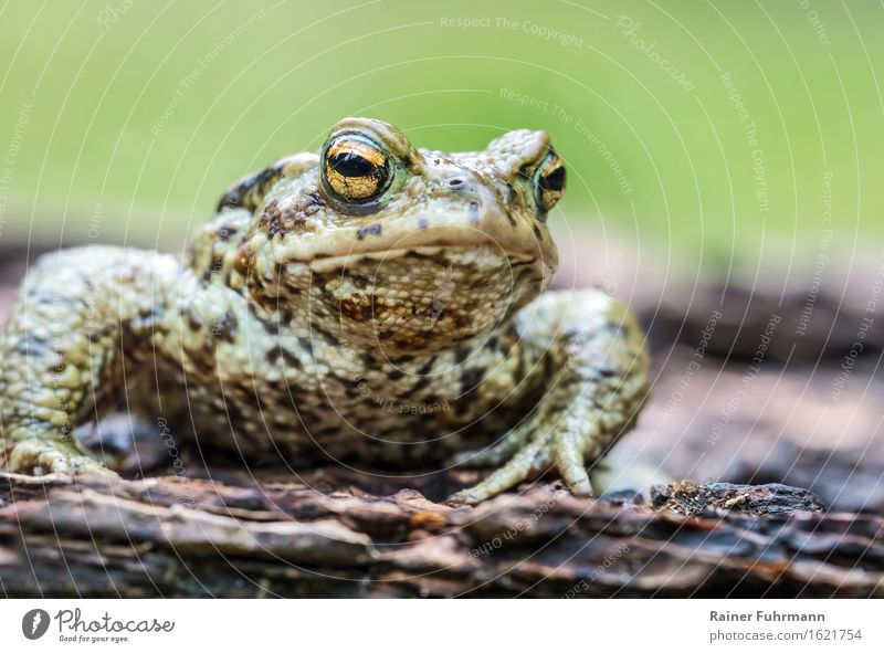 """a deeply relaxed earth toad Animal Wild animal """"Toad Earth Toad"""" 1 Nature """"bufo bufo bufo toad man mating season Spring Colour photo Close-up Animal portrait"""