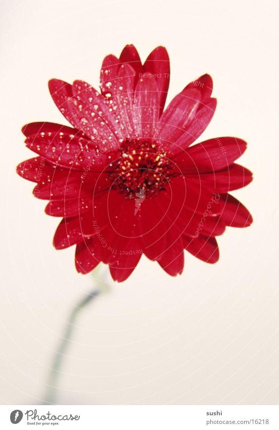 Flower Perspective Gerbera