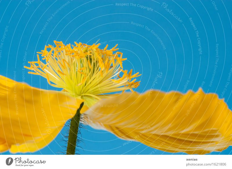 Macro shot of a yellow poppy blossom from a frog's perspective against a blue background Iceland poppy dust bag poppy plant Poppy blossom Blossom Beautiful