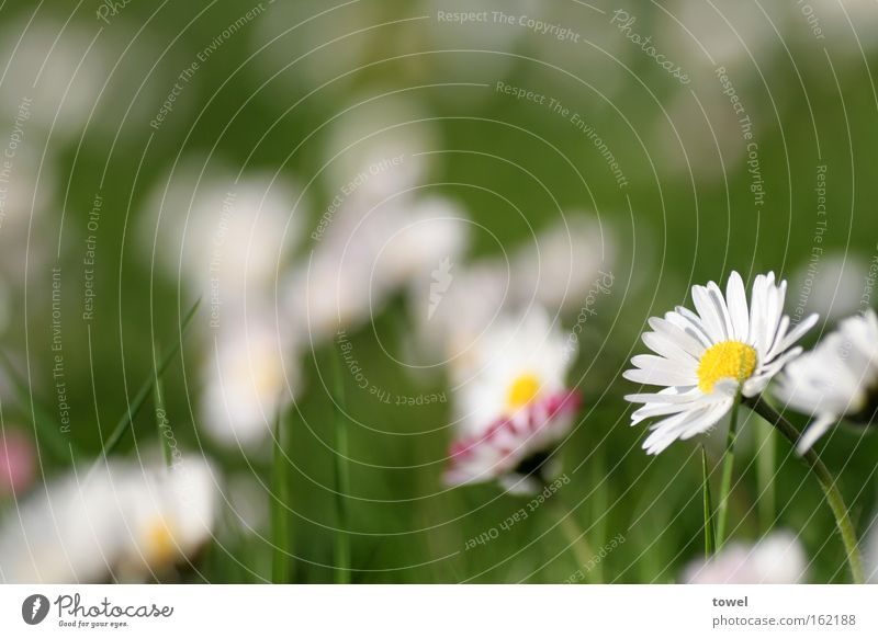 White Flower Green Summer Meadow Grass Spring Daisy