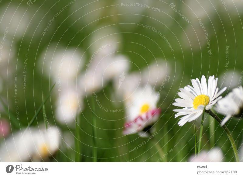 White Flower Green Summer Meadow Grass Spring Daisy