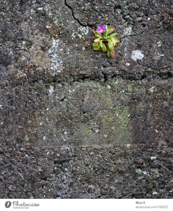 mauerBLÜMCHEN Colour photo Exterior shot Spring Flower Blossom Wall (barrier) Wall (building) Blossoming Growth Gray Loneliness Primrose Crack & Rip & Tear