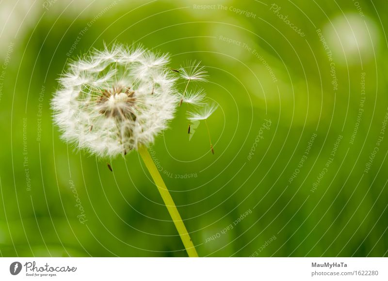 dandelion spores blowing away Freedom Summer Plant Wind Flower Growth Green White Dandelion plant spores blowing dandelion Spore sunshine stem seed