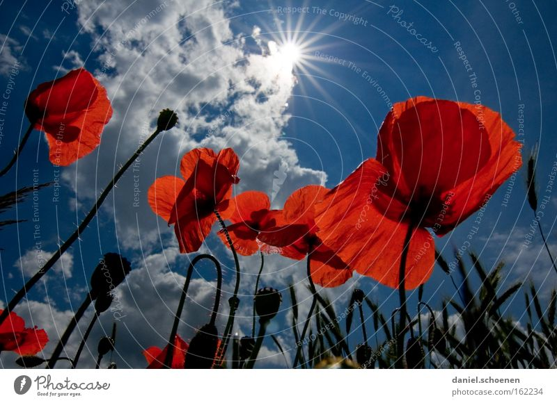 Sky Sun Blue Red Summer Meadow Blossom Perspective Poppy Sunbeam Celestial bodies and the universe Corn poppy