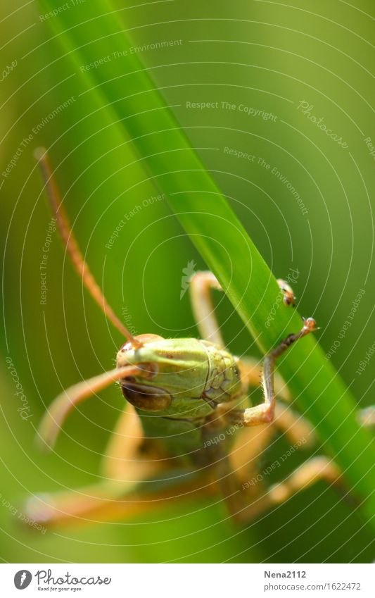 Flip the grasshopper Environment Nature Animal Spring Summer Grass Garden Park Meadow Field 1 Athletic Green Insect Locust Feeler Eyes Head To hold on Climbing