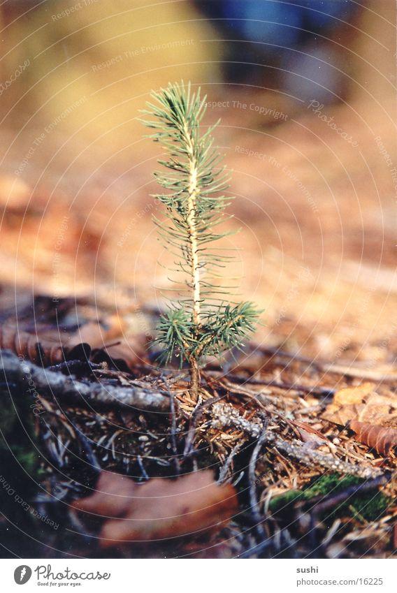 Small fir Moody early morning small tree