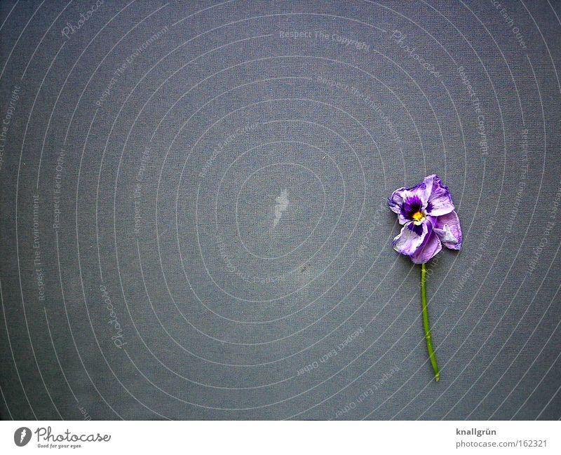 Flower Green Plant Death Blossom Gray Grief Violet Transience Stalk Decline Distress Violet plants Violet Pansy