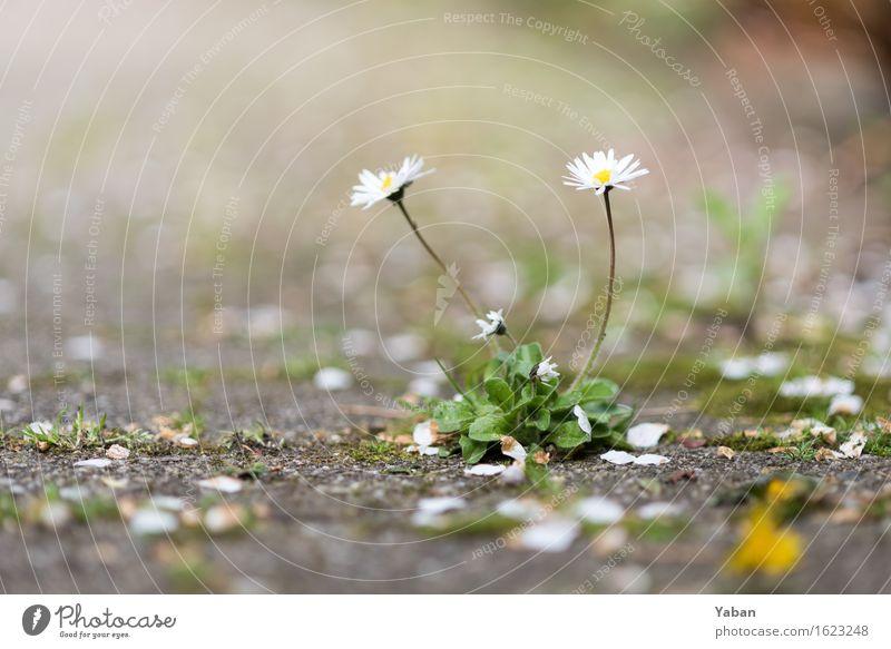 Plant Green White Gray Stone Concrete Daisy