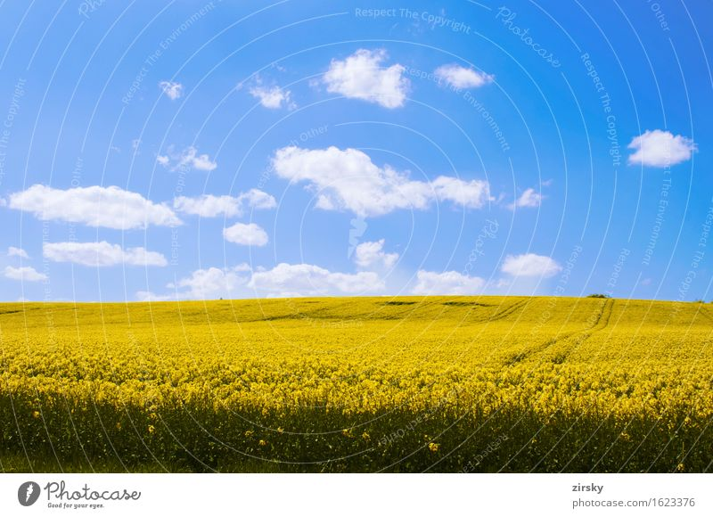 Yellow rape fields in the sun with blue sky and clouds Cooking oil Clouds Illuminate Blue Green White Canola Canola field Sky organic Biological