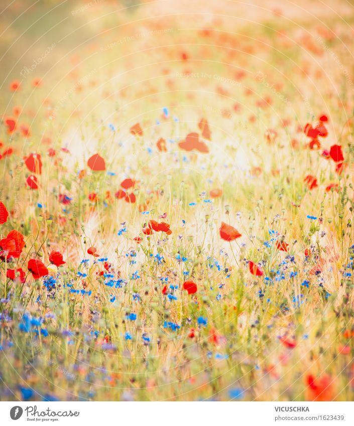Field with poppies and blue cornflowers Lifestyle Design Summer Environment Nature Landscape Plant Autumn Beautiful weather Flower Meadow Meadow flower Poppy