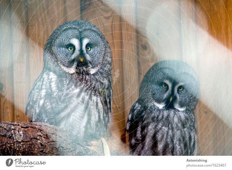 two owls Environment Animal Tree Wild animal Bird Wing Owl birds Pair of animals Wood Sit Round Brown Gray Black White Looking Beak Pelt Feather Eyes Yellow