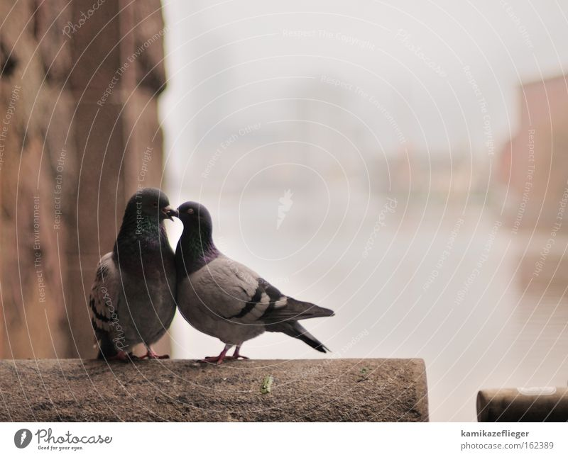 Love Animal Wall (building) Emotions Happy Wall (barrier) Bird Pair of animals Fog Bridge In pairs Romance Kissing Wild animal Pigeon