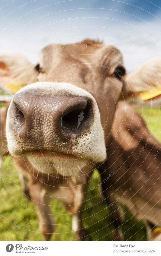 Kuhn nose very big Joy Tourism Summer Nose Nature Animal Meadow Farm animal Cow Healthy Happy Large Natural Cute Positive Brown Curiosity Interest