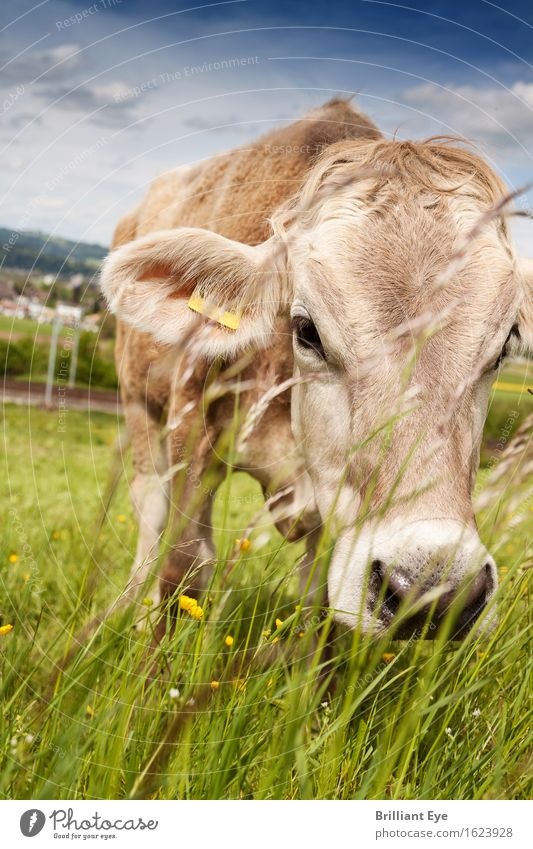 palpable nose Trip Summer Nature Meadow Farm animal Cow Discover Eating Natural Curiosity Cute Acceptance Trust Appetite Serene Switzerland Free-range rearing