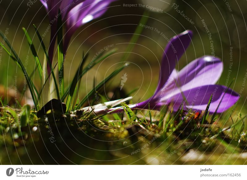 Flower Plant Blossom Grass Spring Ground Violet Stalk Moss Botany Crocus Sprained
