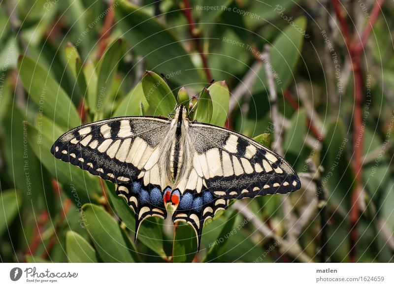 pretty boy Plant Animal Wild animal Butterfly 1 Blue Brown Multicoloured Yellow Green Red Black Sunbathing Swallowtail Colour photo Exterior shot