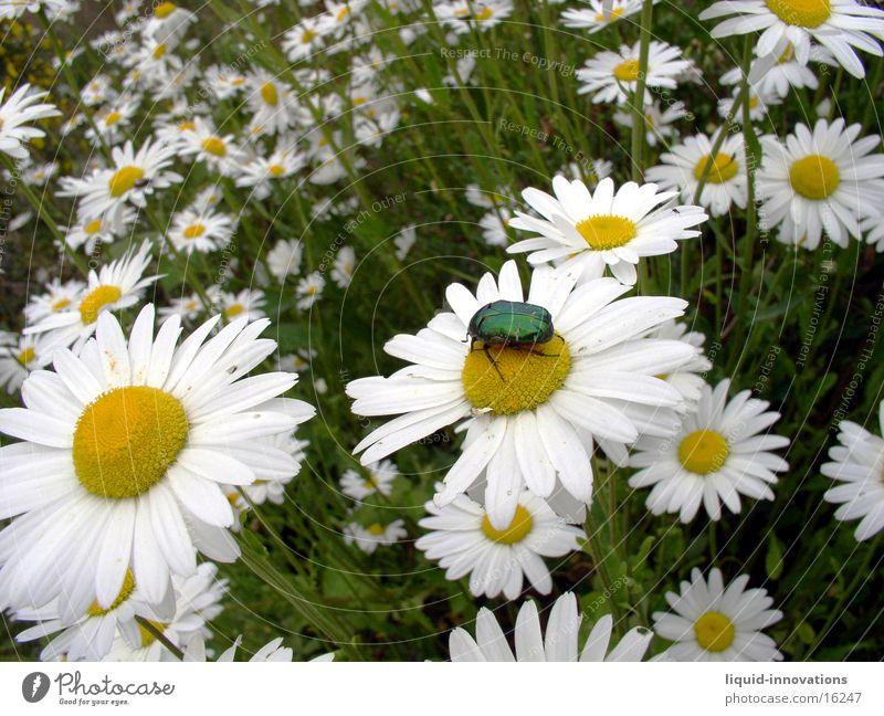 Beetle on flower Marguerite Flower Plant Animal Green Yellow White Glittering flower meadow