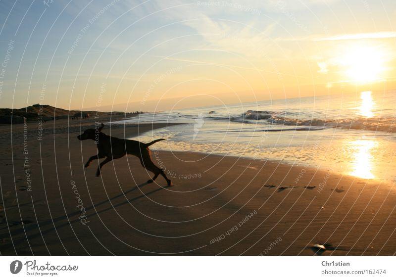 sandpiper Beach Sunset Denmark Sand Dog Summer Viszla Vizsla sundown