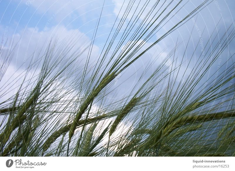 cereals Wheat Clouds Grain