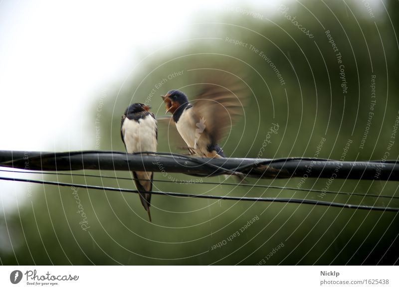 EY!!! Move! Bad weather Rain Transmission lines Steel cable Telephone cable Animal Bird Wing Swallow 2 Pair of animals Rutting season To talk Flying Scream Sit