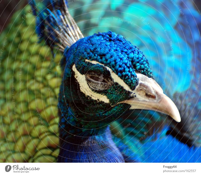 Blue Eyes Head Bird Wing Feather Soft Delicate Neck India Beak Asia Peacock Animal