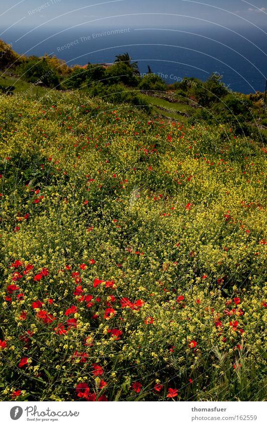 Beautiful Ocean Joy Yellow Happy Spring Poppy Flower meadow