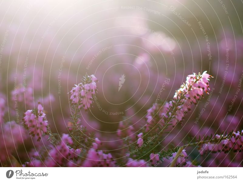 Nature Sun Flower Plant Blossom Spring Bright Violet Kitsch Fragrance Botany Celestial bodies and the universe Flood Heather family