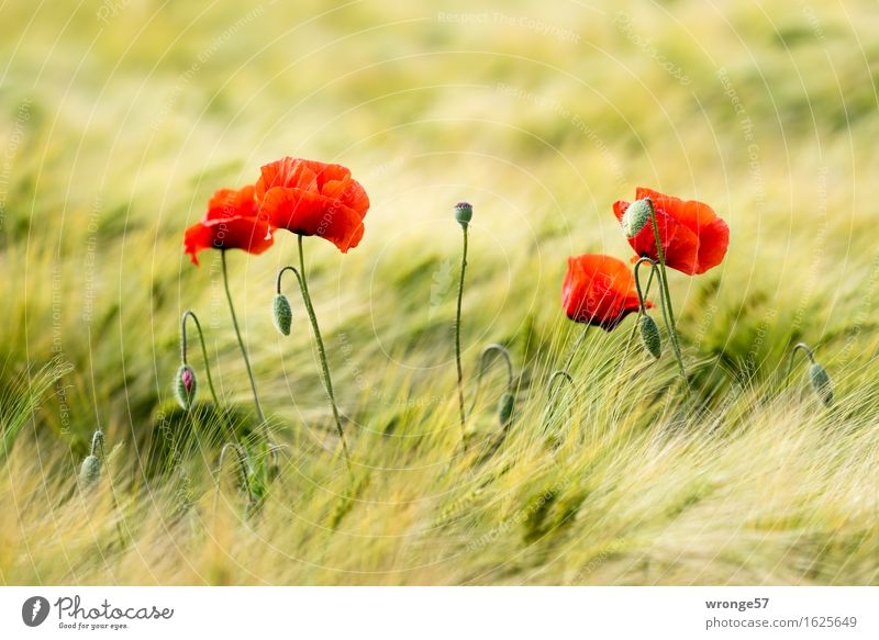 Nature Plant Green Beautiful Summer Flower Red Environment Yellow Natural Field Grain Poppy Cornfield Agricultural crop Grain field