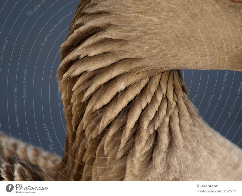 Beautiful Animal Park Bird Background picture Macro (Extreme close-up) Feather Neck Goose Screensaver Gray lag goose