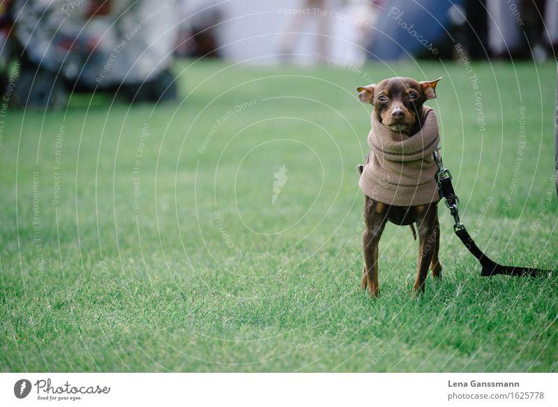 Funny dog Meadow Sweater Scarf Brunette Animal Pet Dog 1 Stand Cool (slang) Hip & trendy Beautiful Self-confident Bizarre Concentrate Joie de vivre (Vitality)