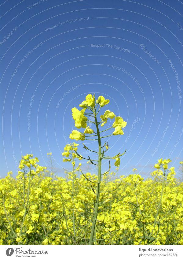 Sky Clouds Yellow Blossom Spring Horizon Canola Oilseed rape flower