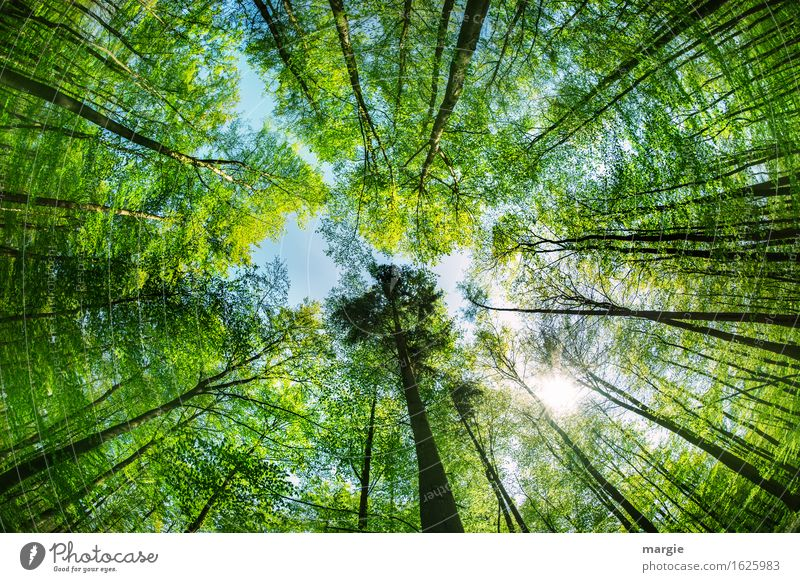 Maiwald: a view up into the tree tops. A high tree appears especially mighty Healthy Relaxation Calm Vacation & Travel Trip Freedom Summer Environment Nature