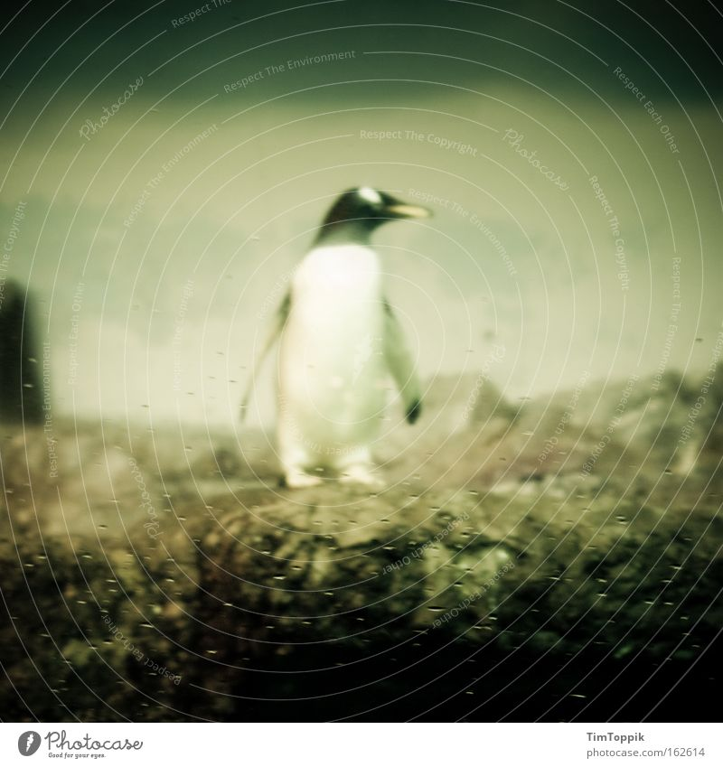 CHECKER Penguin Zoo Berlin zoo Emperor penguins Search Loneliness Seeking a partner Single Animal Fin Mammal Boredom Ocean look round
