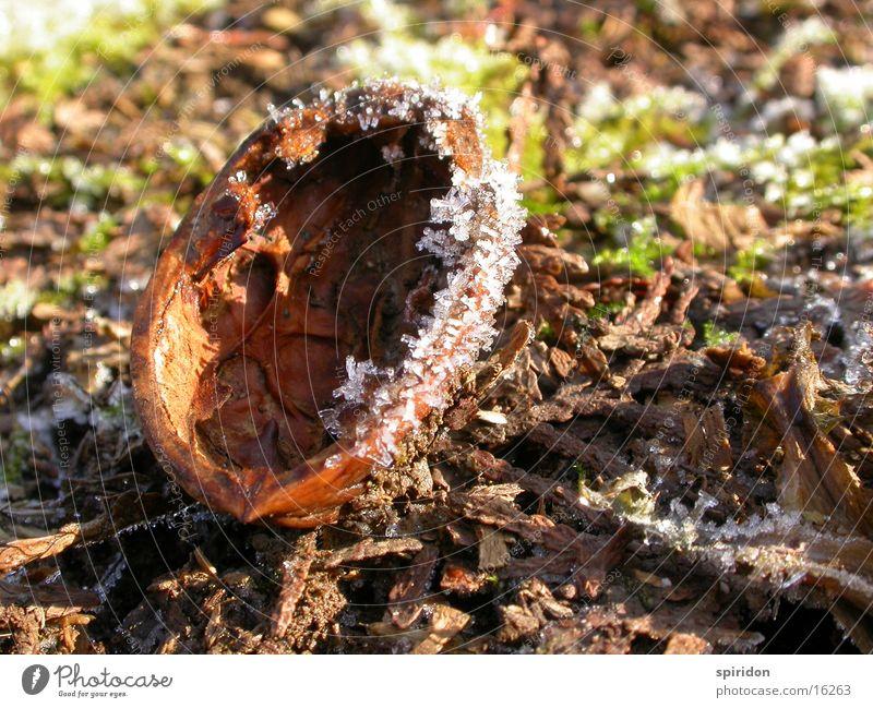 Hoar frost Nut Walnut