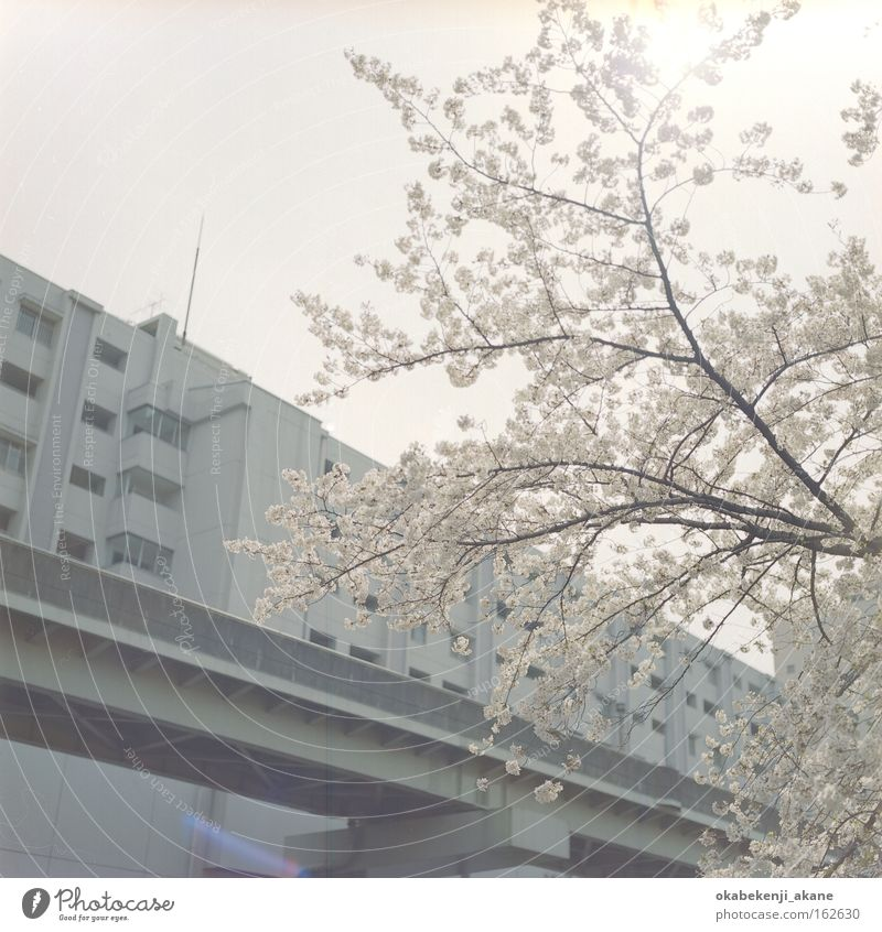 sakura #2 White Flower Air Pink Film industry Square Japan Asia Tokyo Cherry blossom Ambience