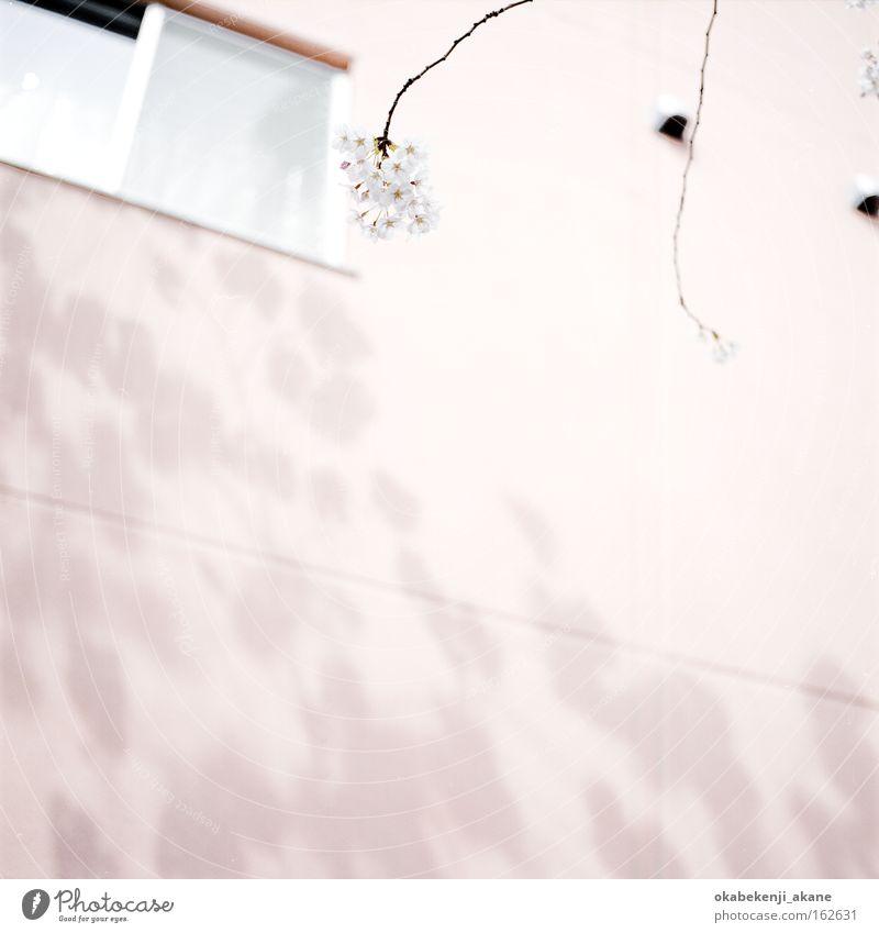sakura #3 White Flower Air Pink Film industry Square Japan Tokyo Cherry blossom Ambience