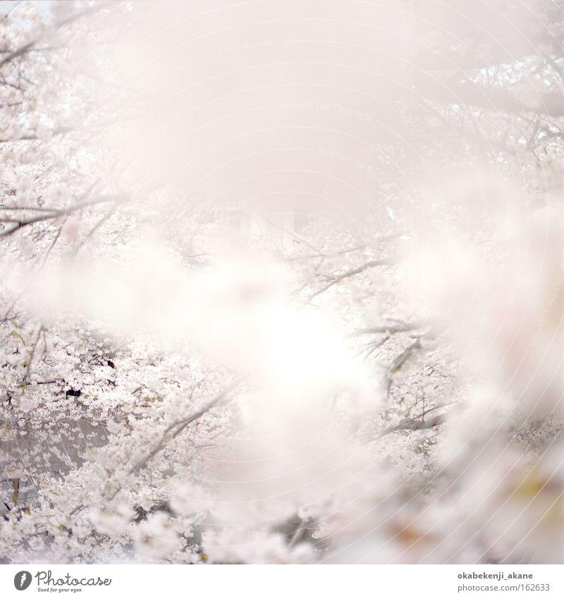 sakura #4 White Flower Air Pink Film industry Square Japan Light Tokyo Cherry blossom Ambience