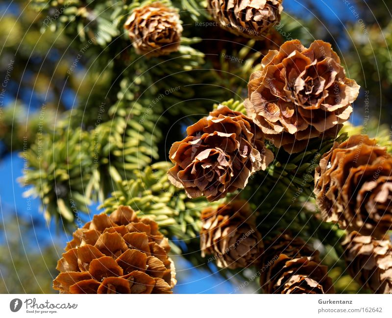 Freshly tapped Cone Fir tree Tree Detail Macro (Extreme close-up) Canada Nature Seed Branch Christmas tree Fir needle Beautiful